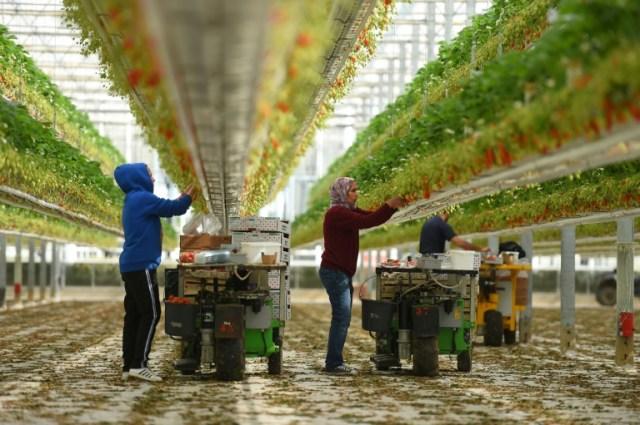 Plusieurs personnes récoltent les fraises à Sainte-Livrade-sur-Lot, le 24 mars 2020. Il en faudrait beaucoup d'autres (AFP - NICOLAS TUCAT)
