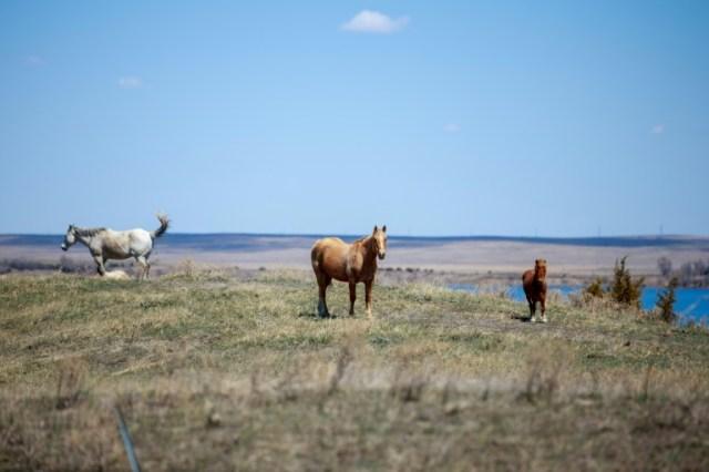 Des chevaux sur les collines verdoyantes de la réserve sioux de Lower Brulé (Dakota du Sud), le 20 avril 2020 (AFP - Kerem Yucel)