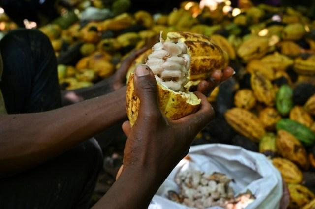 Une plantation de cacao en octobre 2020 près de Guiglo, en Côte d'Ivoire (AFP - Issouf SANOGO)
