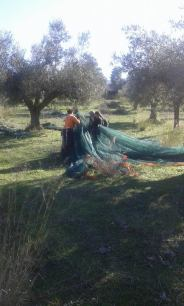 olive harvest in Chamaloni Cottages