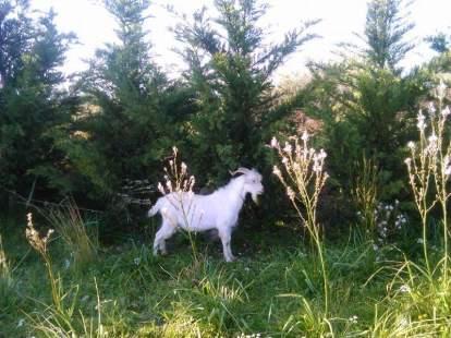 chamaloni-farm-finikounda-goat