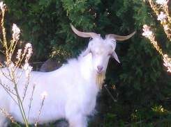 chamaloni-farm-goat-beautiful