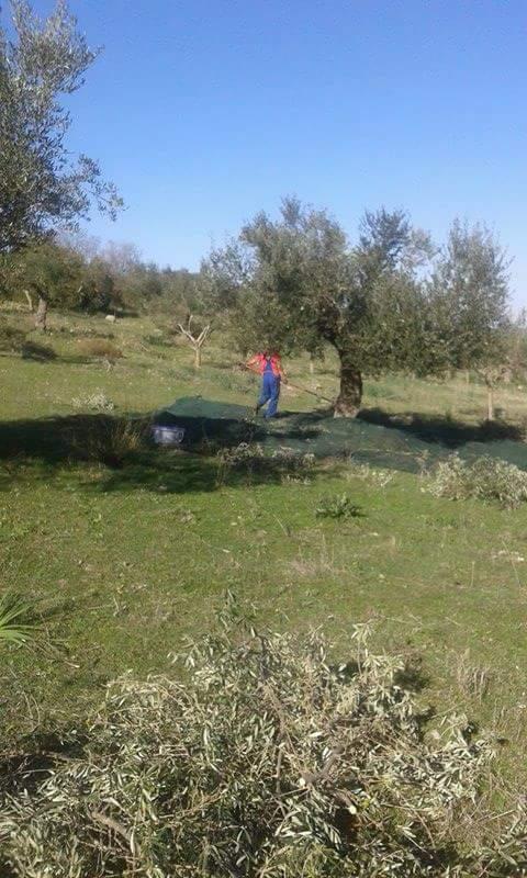 olive-gathering-agrotourism-finikounda