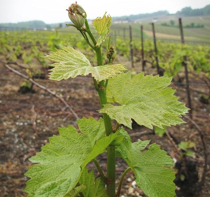 Au cœur des vignes