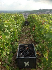 The harvest is expected to start in mid-September