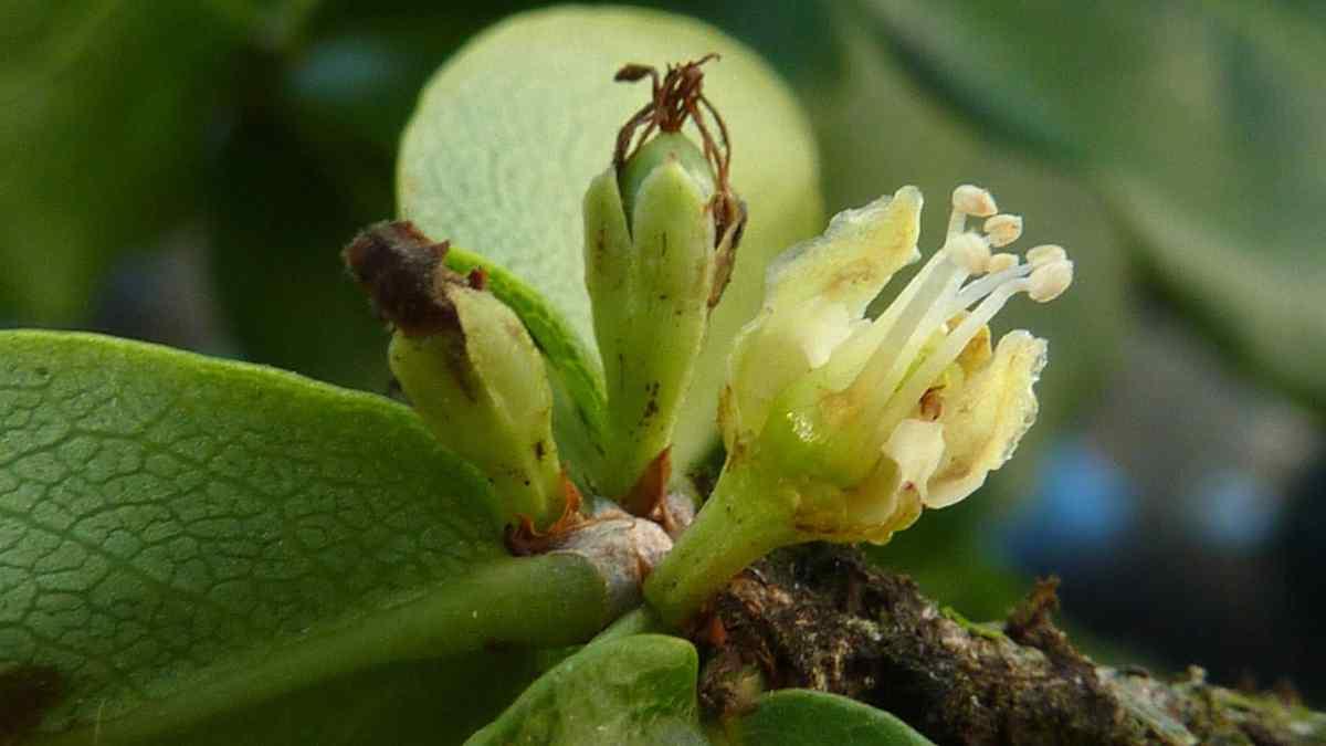 Catuaba (Erythroxylum Vaccinifolium)