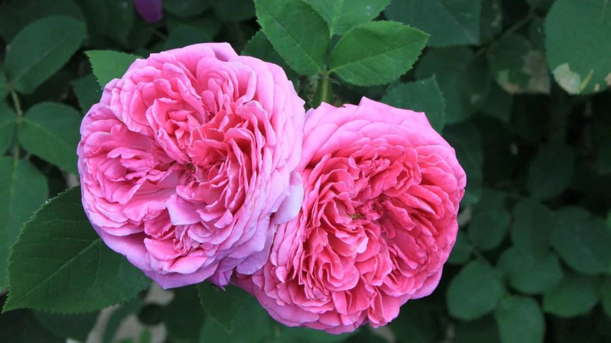 Damask Rose (Rosa × Damascena)