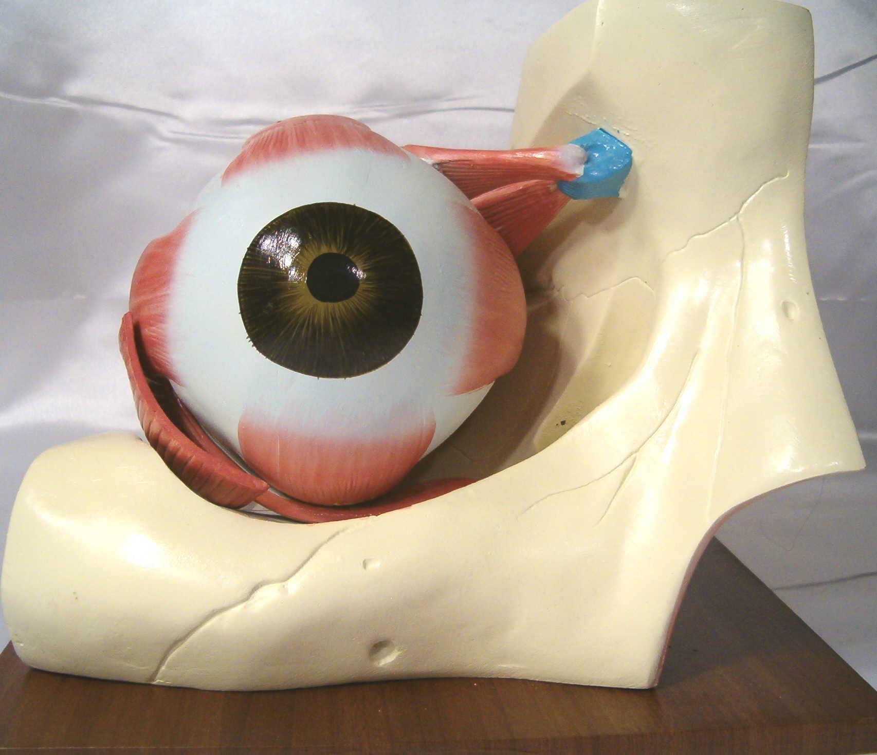 Human Eye Eyeball Dissection Anatomy Anatomical Model
