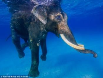 Elefante Rajan
