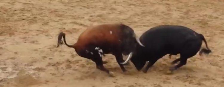 toros-muerte-choque