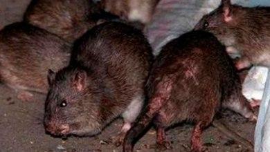 moderdura-ratas-edificio-Miami-niños