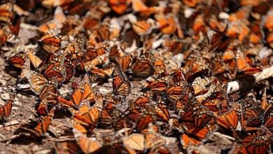 """Photo of Arriban Al Santuario """"El Rosario"""", Cerca De 100 Millones De Mariposas Monarcas"""