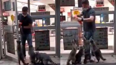 Photo of Pasa En México: Mapaches Hacen Guardia En Tienda Pa Pedir Comida A Clientes