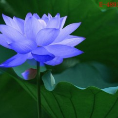 Lotus In Water Plant Diagram Eyfs Planning Cycle 10x Lily Seeds Nelumbo Nymphaea Bowl Pond