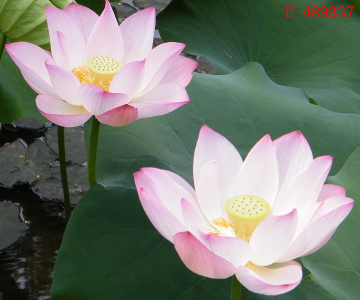 lotus in water plant diagram sky box wiring 10 seeds bowl lily nelumbo nymphaea pond