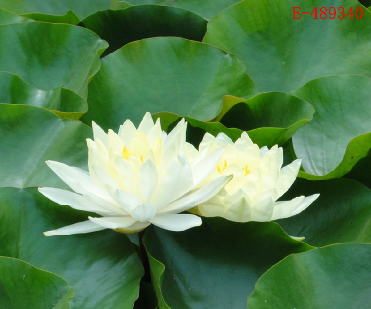 lotus in water plant diagram 2002 dodge ram tail light wiring 10 seeds bowl lily nelumbo nymphaea pond