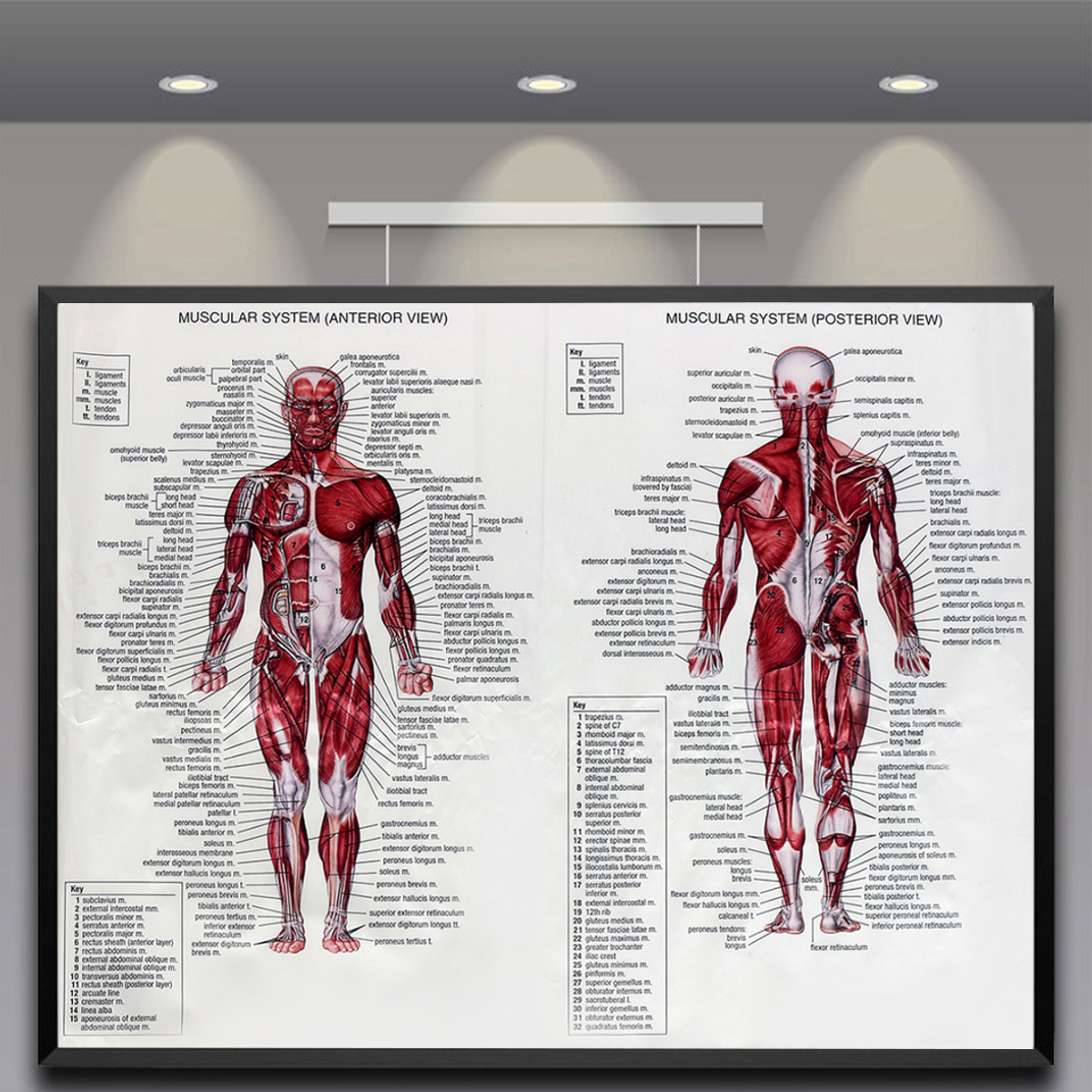 Human Body Muscle Anatomy System Poster Anatomical Chart