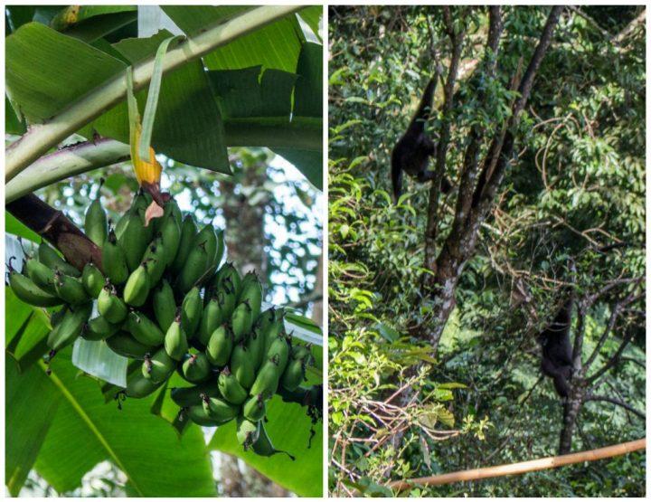 flight-of-the-gibbon-banana-gibbon