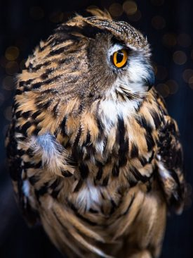 Gifted Professionals - Owl