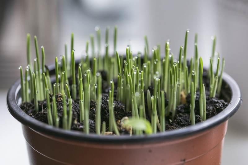 observer la germination des lentilles