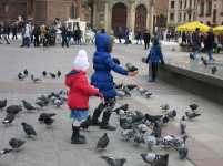 Die Krakauer Tauben