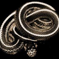 Le Livre du Serpent Noir [1]