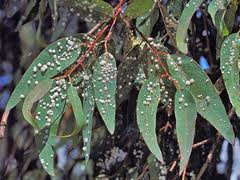 Wasp-infested eucalyptus leaves at Rose Canyon