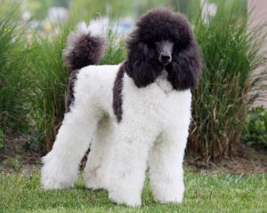 Harlequin Poodles Not Just Black And White Poodle