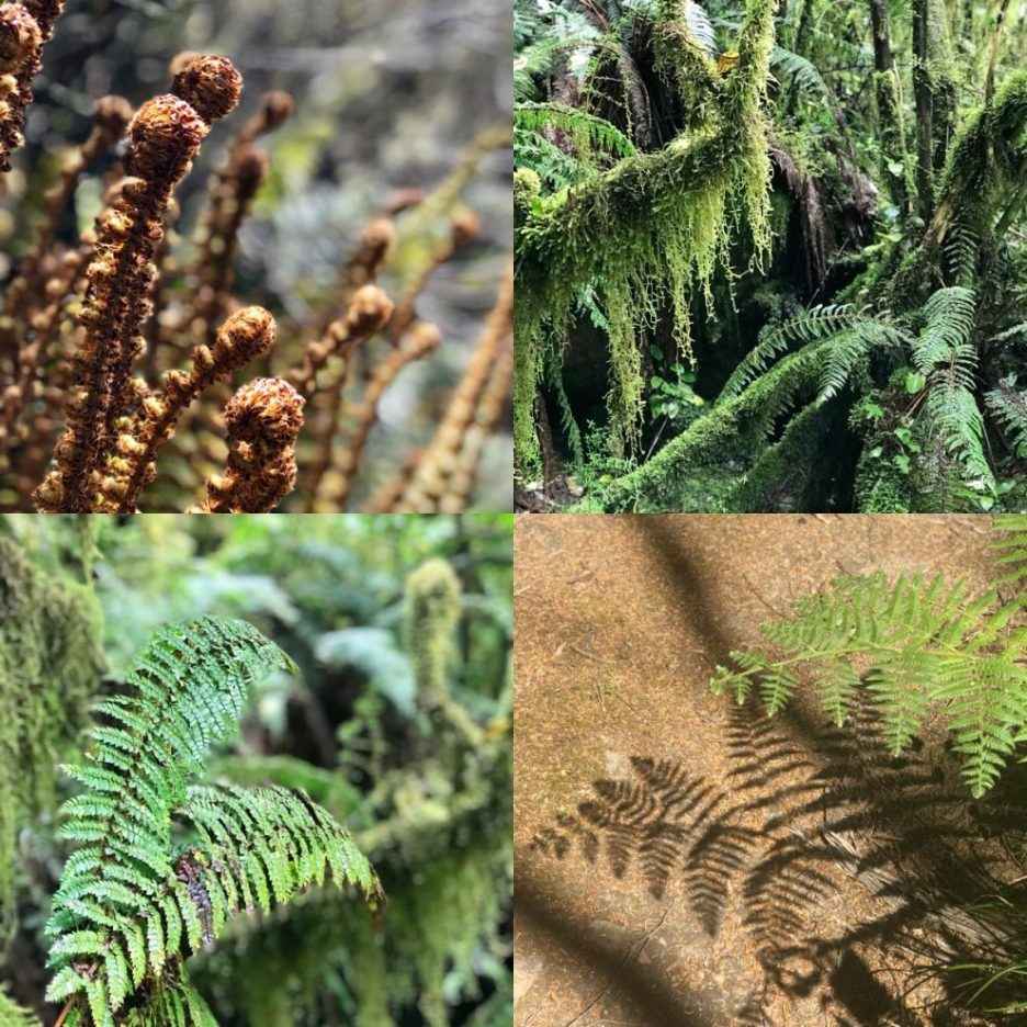Ferns of New Zealand