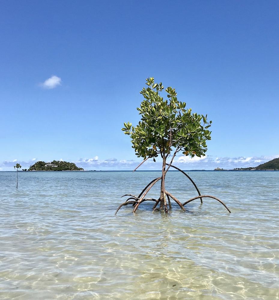 fiji pacific ocean mangrove