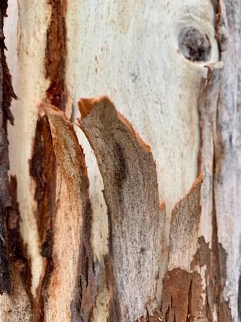 Wolgan valley eucalyptus bast