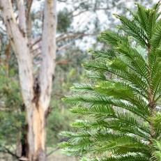 Wolgan Valley Wollemi pine tree