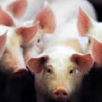 Promotion sur le porc Manex