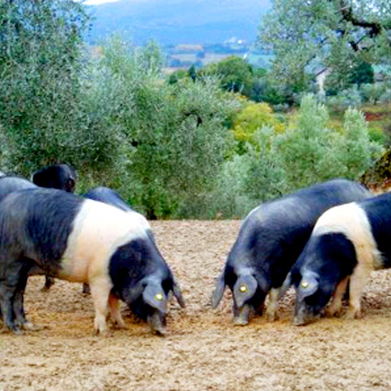 Cinta Senese is 1 van de 6 orginele Italiaanse varkensrassen. Deze varkens genieten vrije uitloop in de heuvels van Toscane.