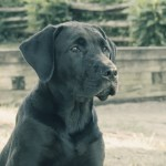 What You Need to Know About Cane Corso Temperament