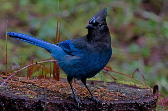 The Steller's' Jay is a common scavanger which lives west of the Rocky Mountains from Alaska to Mexico 1
