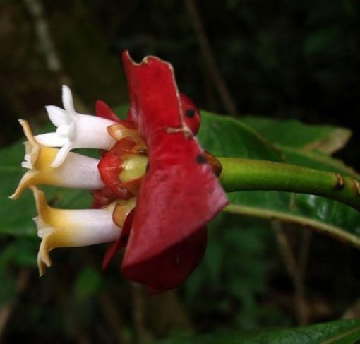 psychotria-elata-flor-del-beso5