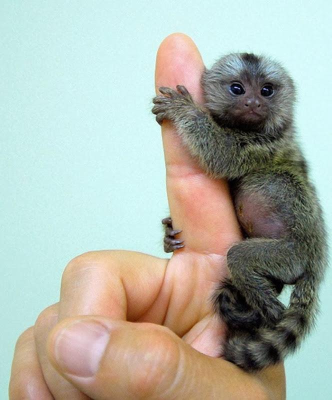 pygmy-marmoset-3[3]