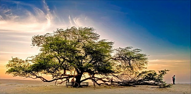 A Miraculous Survival of Tree in the desert of Bahrain 12