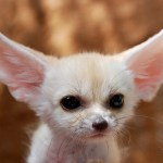 Fennec Fox is the Most Cute Animal in the World