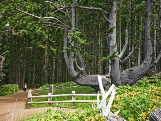 The Octopus Tree of Oregon 6