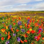 Mesmerizeing Antelope Valley Poppy Reserve in California