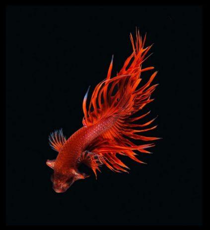 Dazzling Siamese Fighting Fish By Visarute Angkatavanich 1