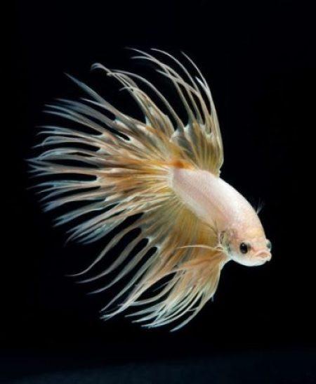 Dazzling Siamese Fighting Fish By Visarute Angkatavanich 6