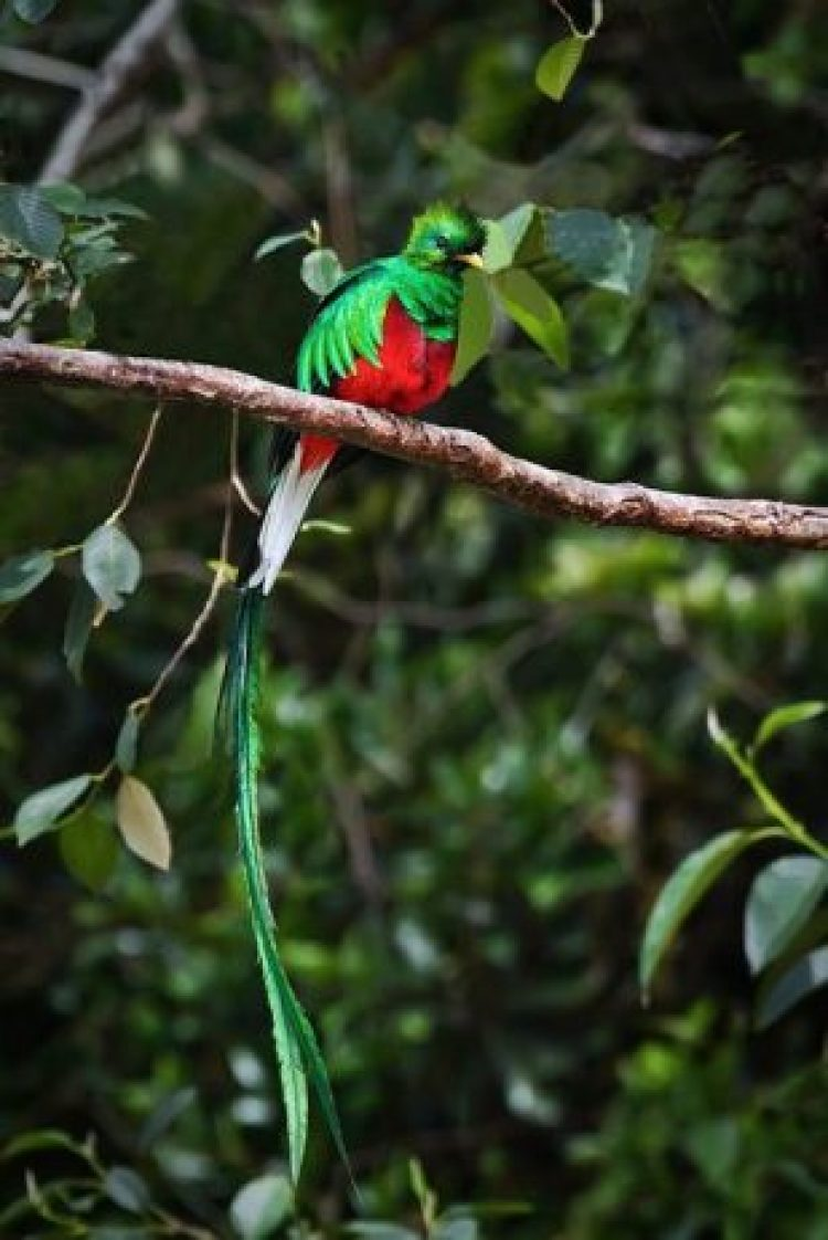 Resplendent Quetzals habitually live alone when not breeding.