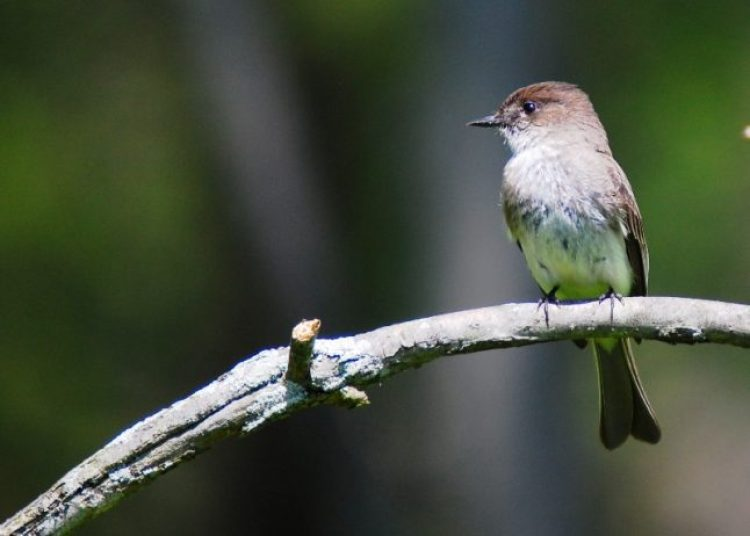 Eastern Phoebe, captured at Peacevalley Nature Center, Doylestown, Pennsylvania.