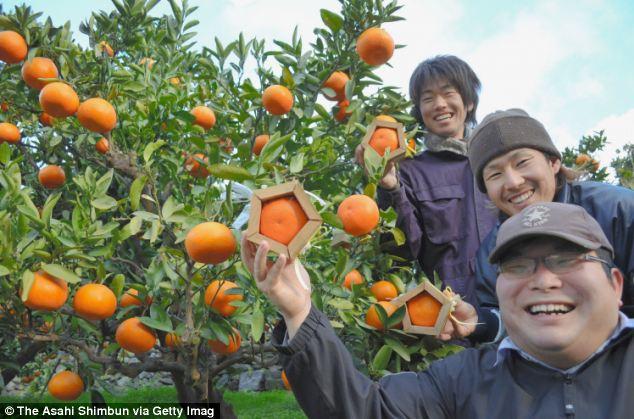 Farmers Keisuke Ninomiya, Akihiro Nagaoka, and Jo Kubota of Hiduchi Tachibana Club hold up pentagon-shaped iyokan citrus fruits