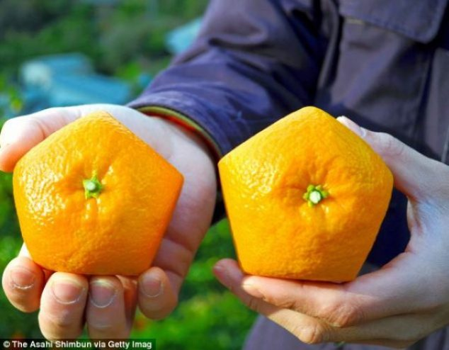 The iyokan citrus fruits or 'Gokaku no Iyokan' were handed out as a good luck charm for students in the upcoming entrance exam season in Yawatahama, Ehime