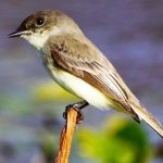 "Small Passerine Bird ""Eastern Phoebe"""