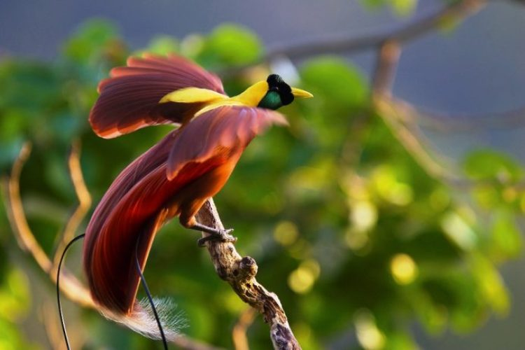 Red Bird of Paradise (Paradisaea rubra) male performing a practice display at his display site, known as a lek, high in the canopy of the forest on Batanta Island, Indonesia.  Photographed from a canopy blind. IUCN Red List:  NT